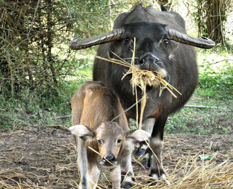 Buffalo Don Det Laos