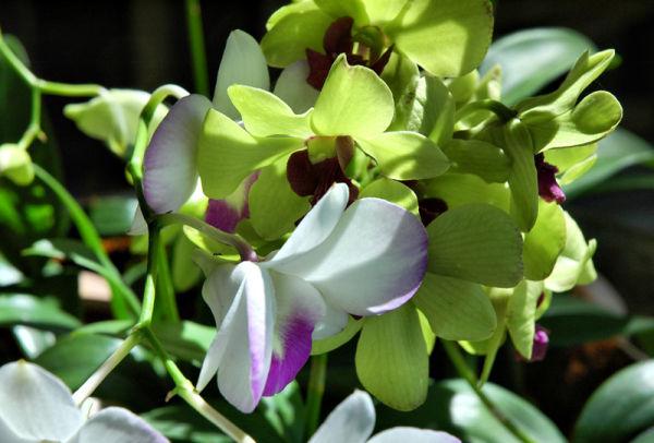 Orchids Ko Chang Thailand