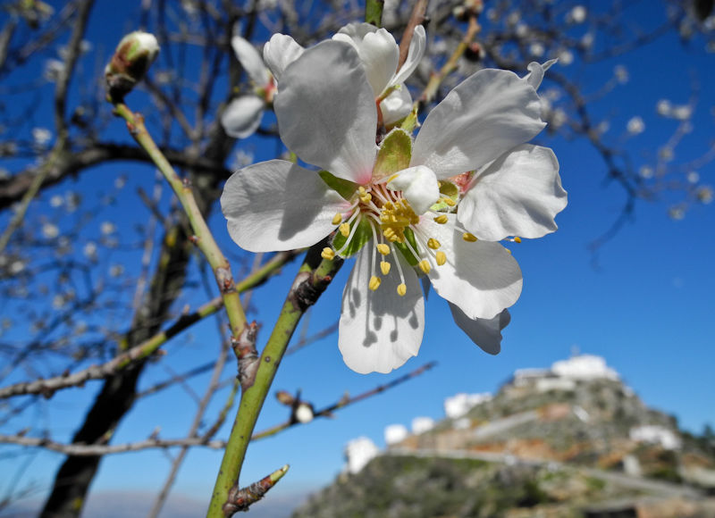 Almond Blossom Comares Andalusia Spain