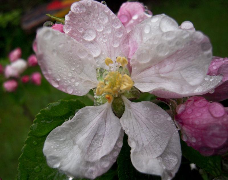 Apple Blossom Ludlow Shropshire UK
