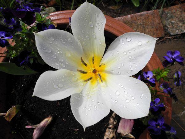 Tulip Ludlow shropshire UK