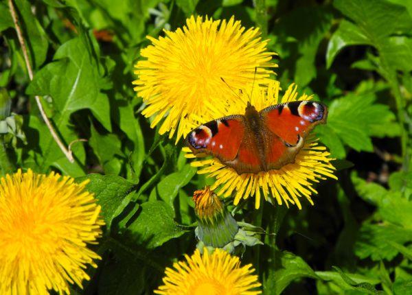 Dandylion Peacock Butterfly Ludlow Shropshire UK
