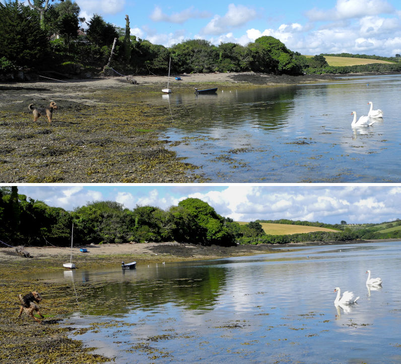 Swans Airedale Falmouth Cornwall UK