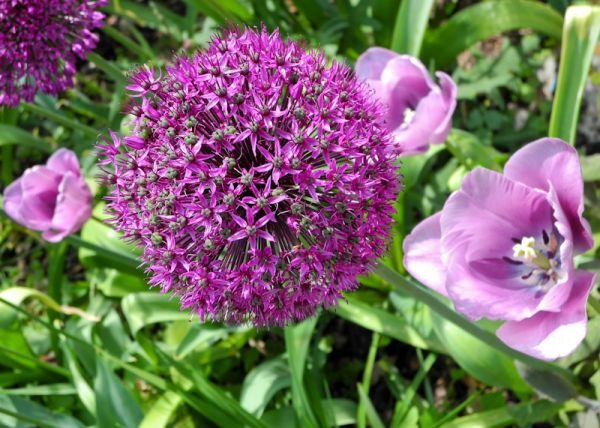 Alium Chalice Gardens Glastonbury Somerset UK
