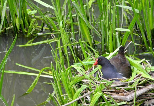 Coot Nesting Keynsham UK