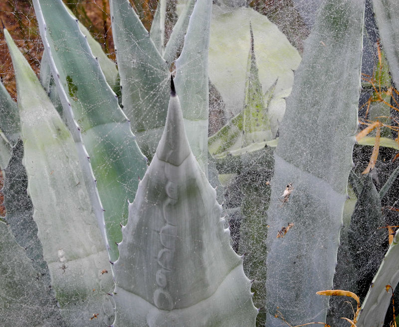 Web Agave Comares Axarquia Andalusia Spain