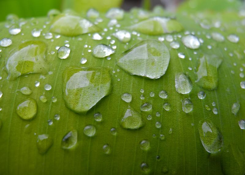 Dew Drops Banana plant Ludlow Shropshire UK
