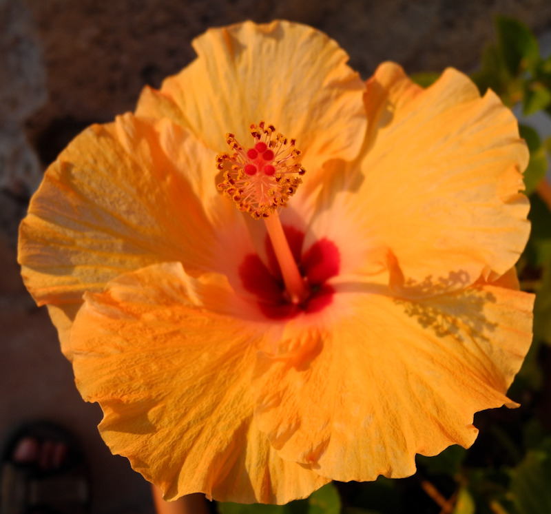 Hibiscus Comares Axarquia Andalusia Spain