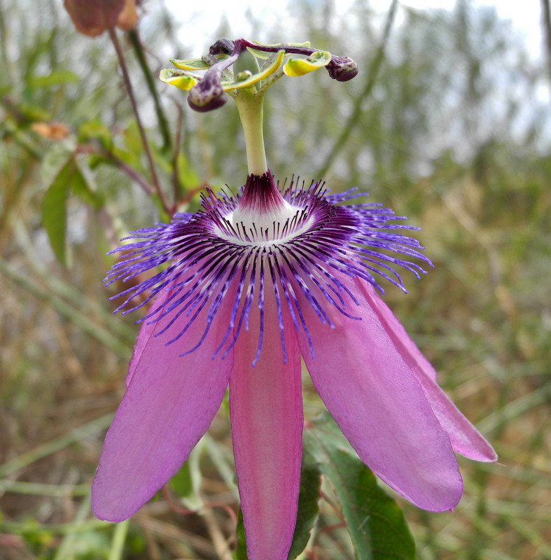 Passion flower Comares Axarquia Andalusia Spain
