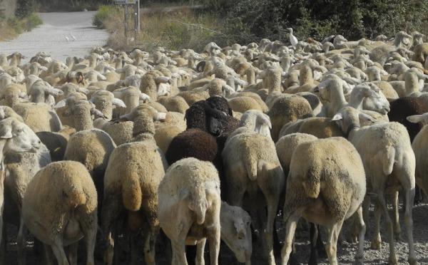 Sheep Velez Malaga Axarquia Andalusia Spain