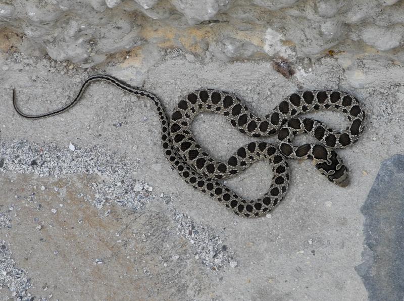 Horshoe Whip Snake Comares Spain