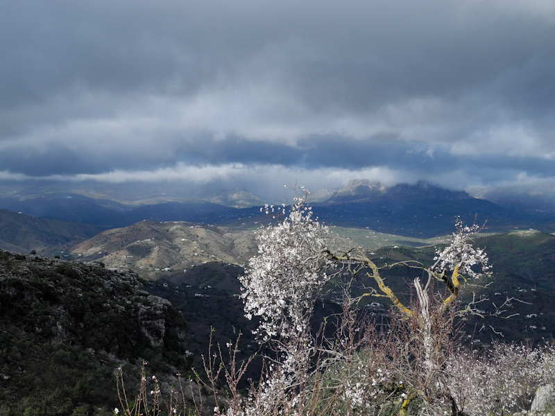 Almond Axarquia Andalusia Spain