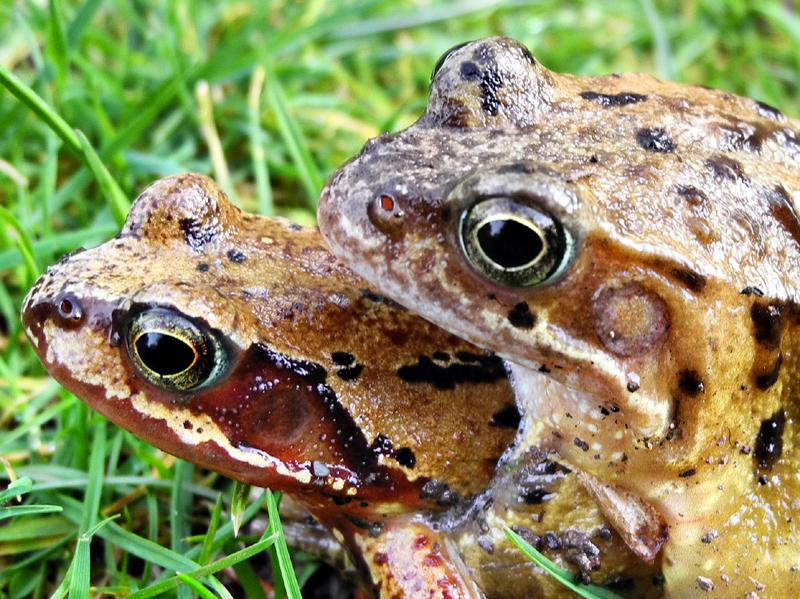 Frogs Ludlow Shropshire UK