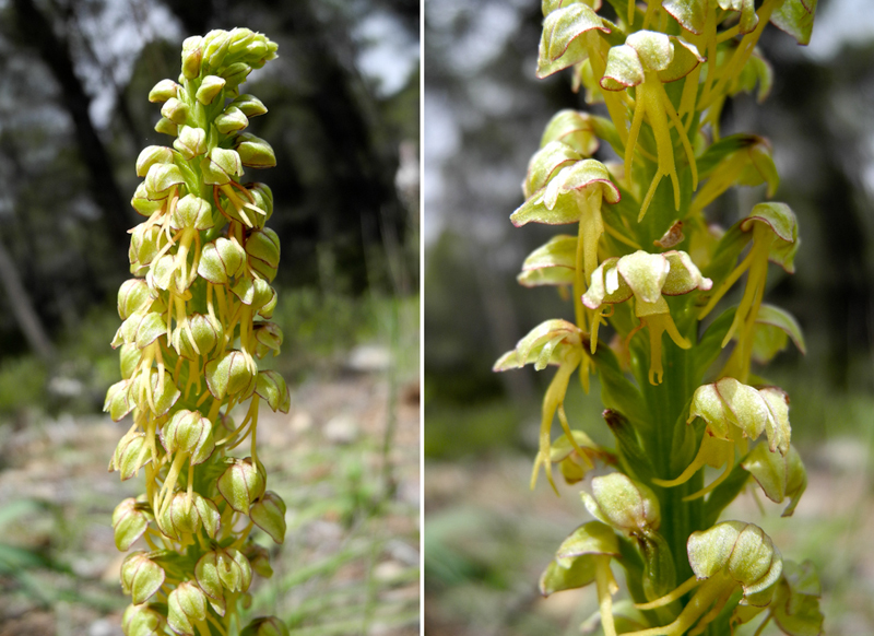 Man Orchids Maroma Axarquia Andalusia Spain