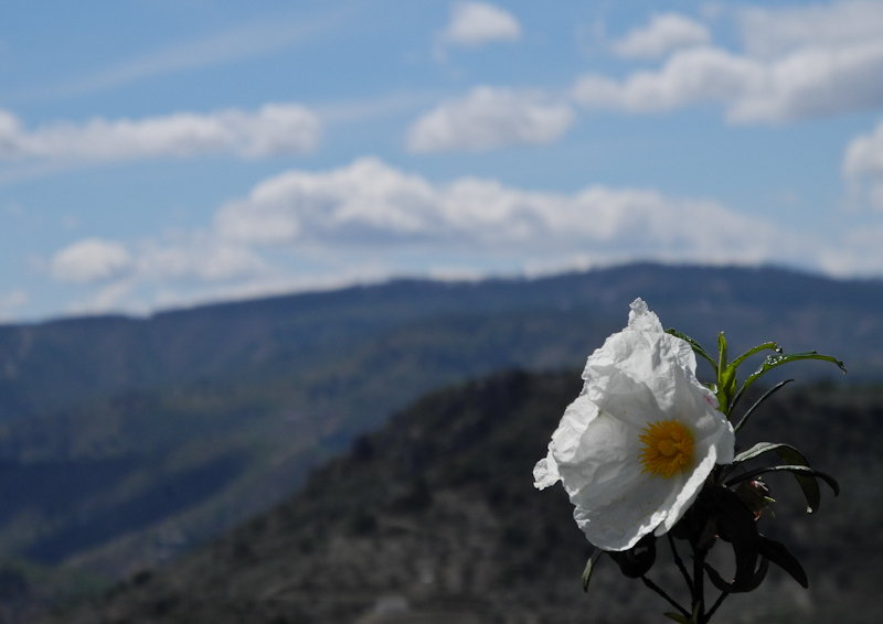 Rock Roses Comares Axarquia Andalucia Spain
