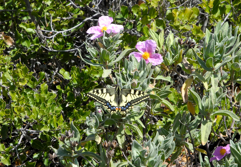 Swallowtail Comares Axarquia Andalucia Spain