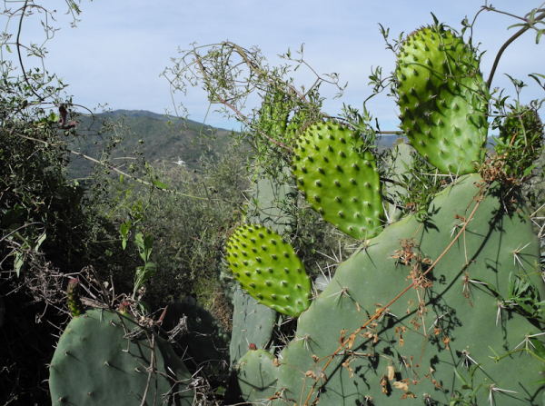 Prickly Pear Comares Axarquia Andalucia Spain