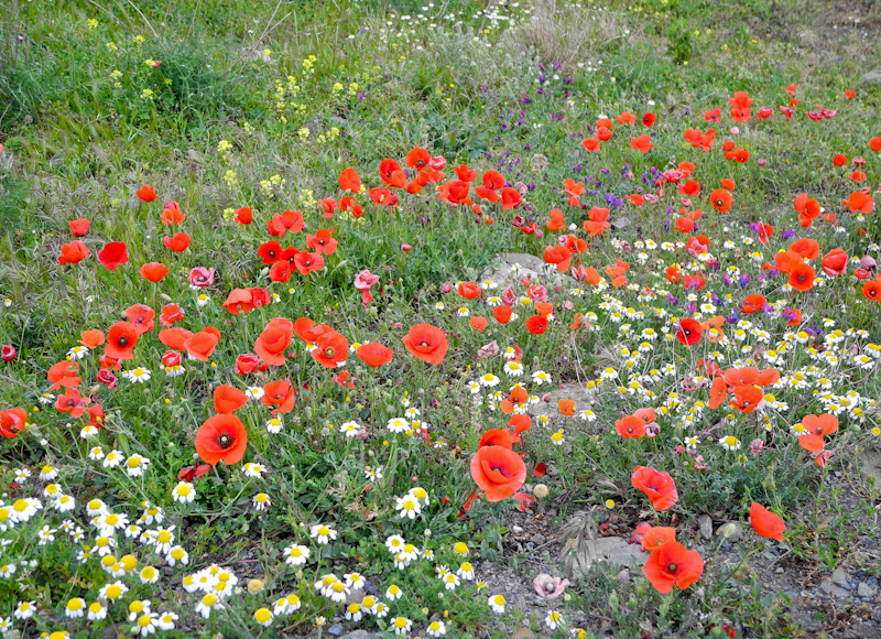 Wildflowers Comares Axarquia Andalucia Spain