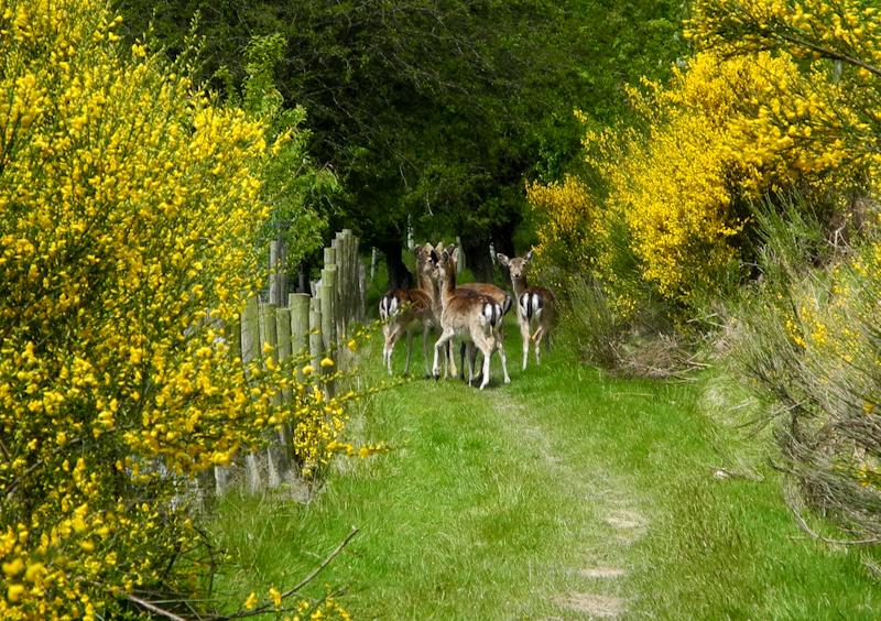Ludlow Deer Mortimer Forest Shropshire UK