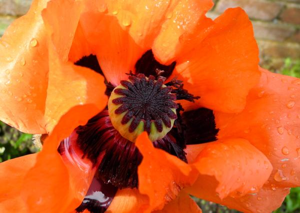 Poppy Ludlow Shropshire UK