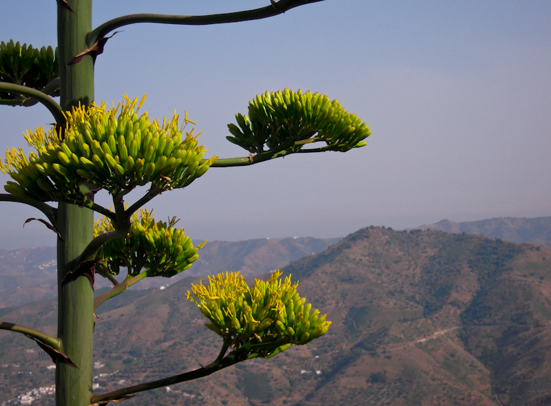 Agave comares Axarquia Andalusia Spain