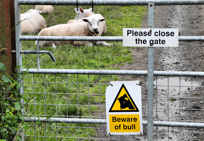 Bull Sheep Ludlow Shropshire UK