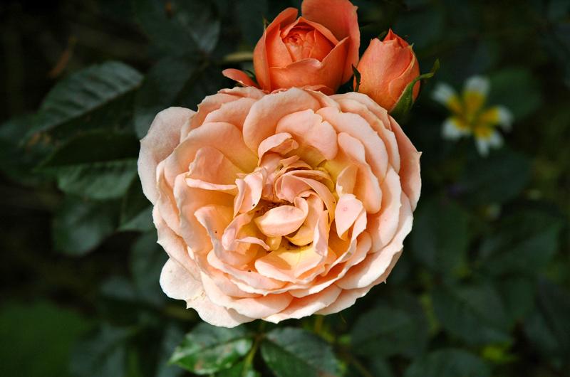 Ludlow Rose Shropshire UK
