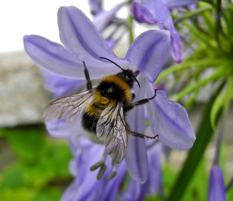 Agapanthus Bee Falmouth UK