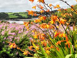 Montbretia Beach Gower Coast Wales