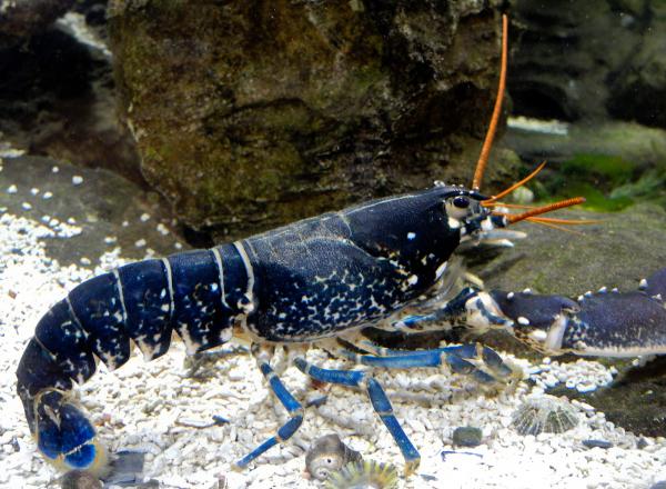 Lobster Robin Hoods Bay North York Moors UK