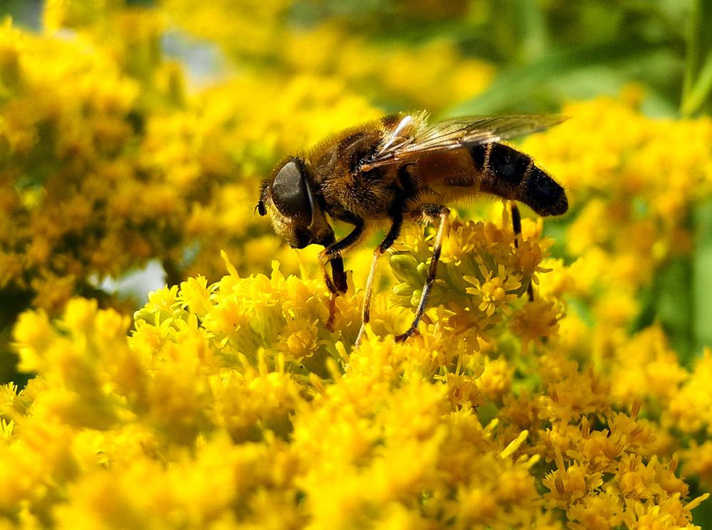 Bee Golden Rod Ludlow UK
