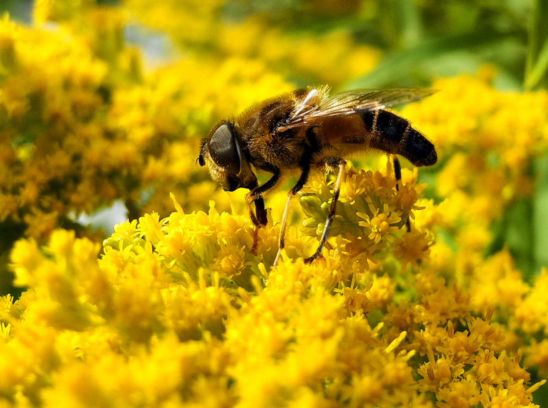 Bee Golden Rod Ludlow UK