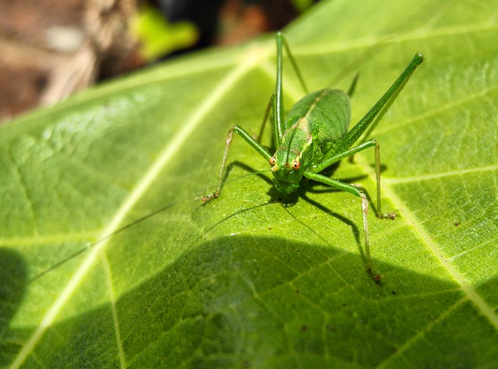 Grasshopper Ludlow UK