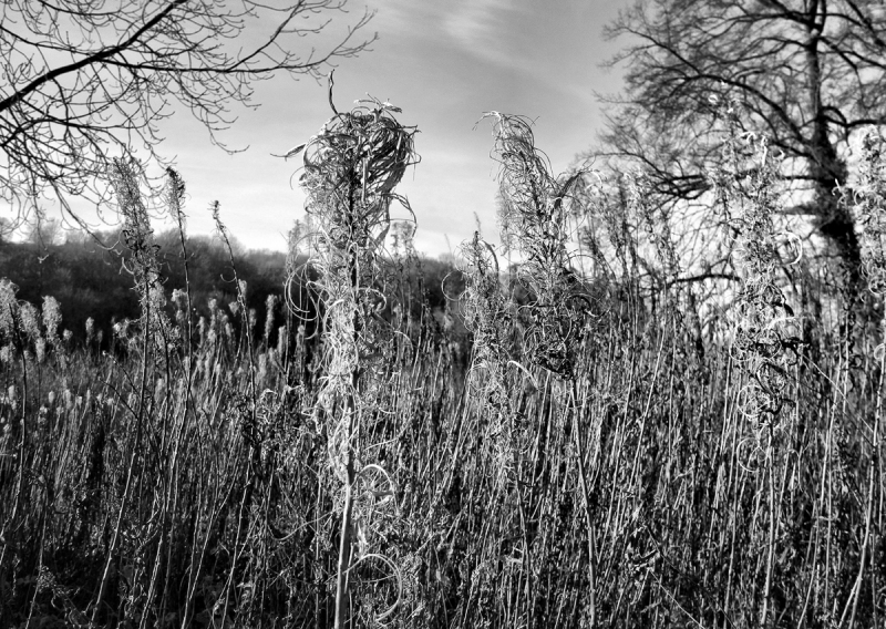 Rosebay Willow Herb Ludlow Shropshire UK