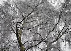 Frost Birch Ludlow Shropshire UK