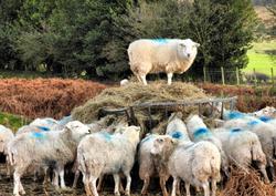 Sheep Brown Clee Shropshire UK