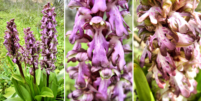 Alfaix Campo Giant Orchid Andalusia Spain