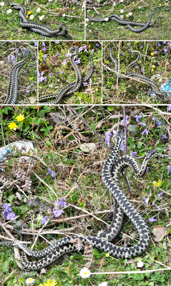 Adders Gower Wales UK