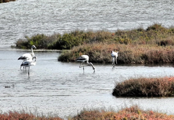 Flamingo Cabo de Gata Andalusia Spain