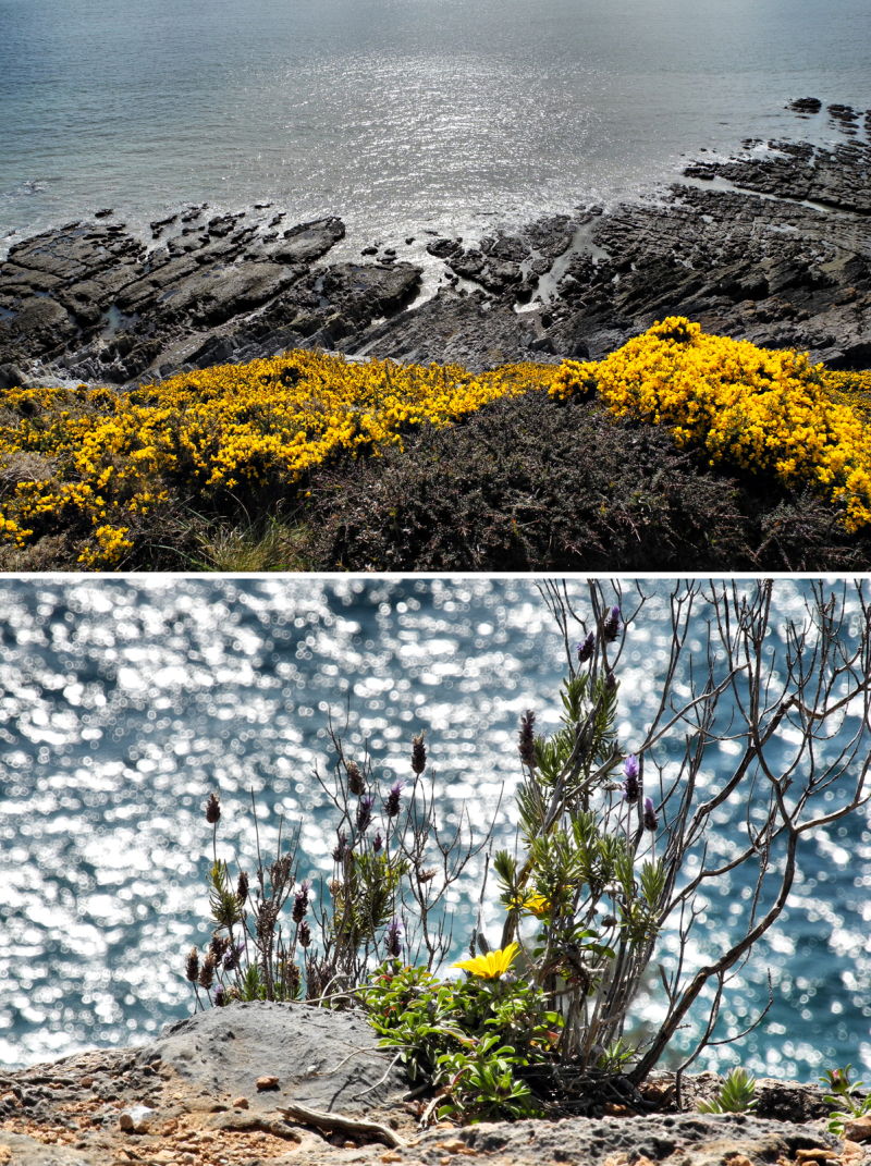 Gorse Gower Wales Sea Aster Maro Spain