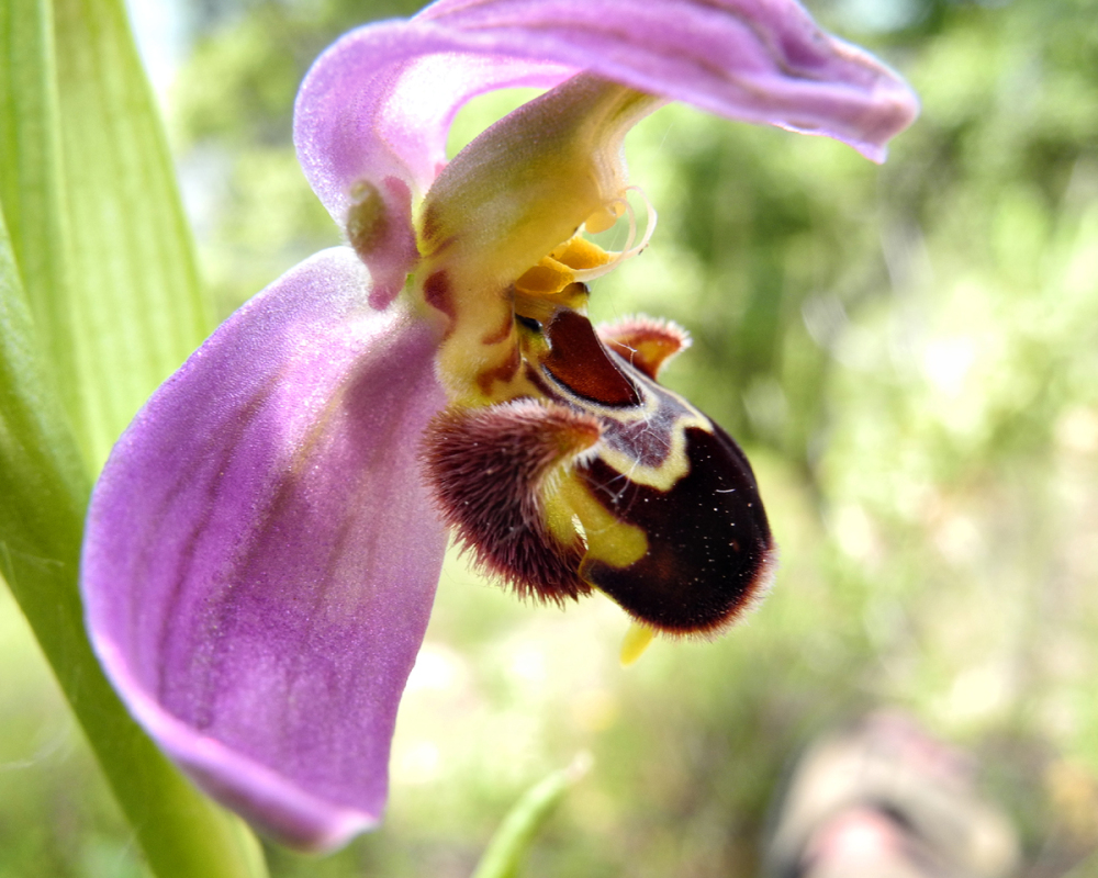 Bee orchid Comares Spain