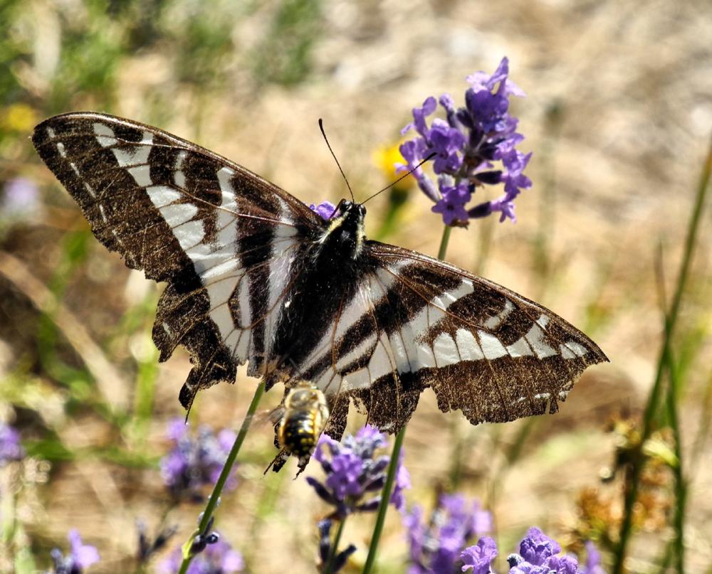 Swallowtail Squirrel Cove Cortez BC Canada
