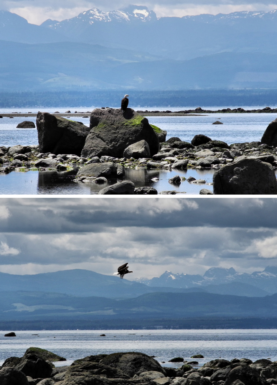 Bald Eagle Smelt Beach Cortez BC Canada