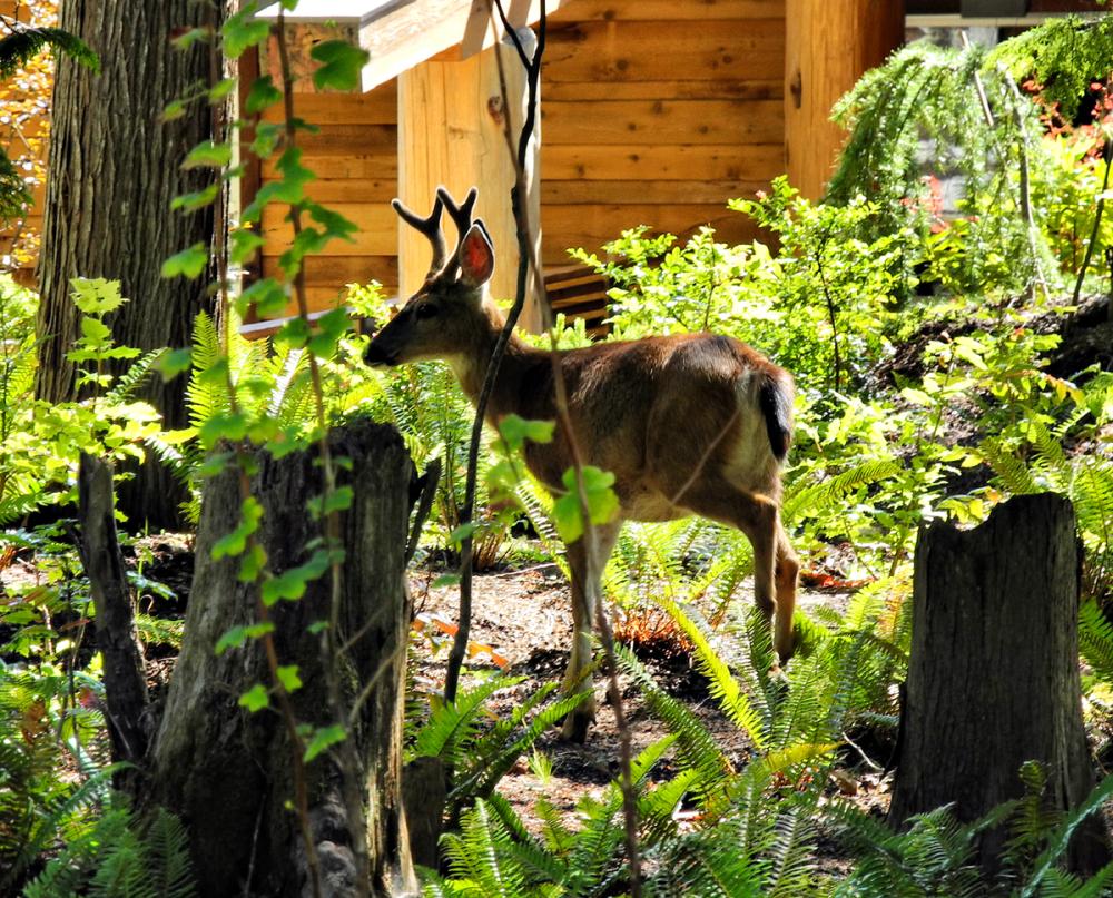 Deer Cortez BC Canada