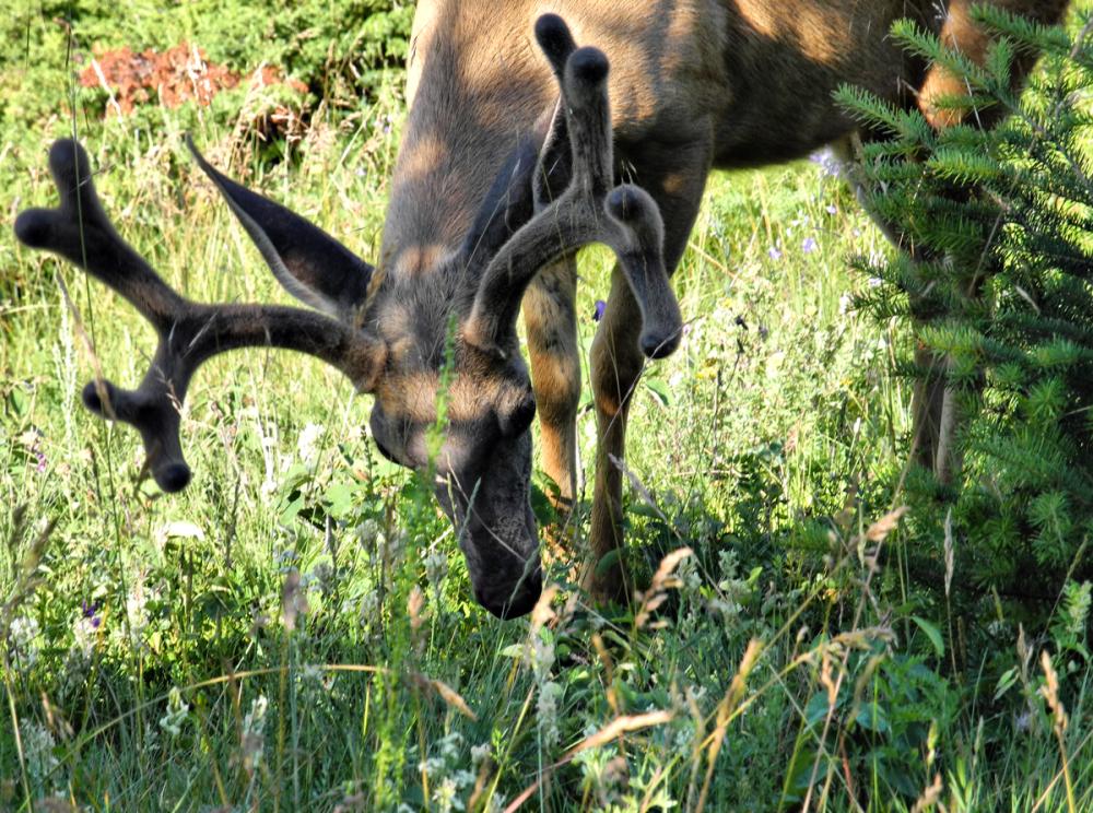 Canmore Alberta Canada Mule Deer