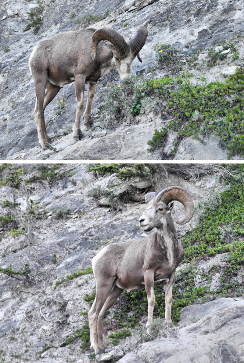 Canmore Alberta Canada Big Horn Sheep