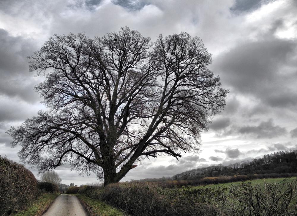 Priors Halton Quercus South Shropshire UK