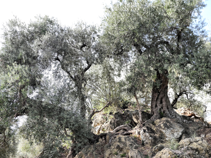 Olive Comares Axarquia Andalusia Spain