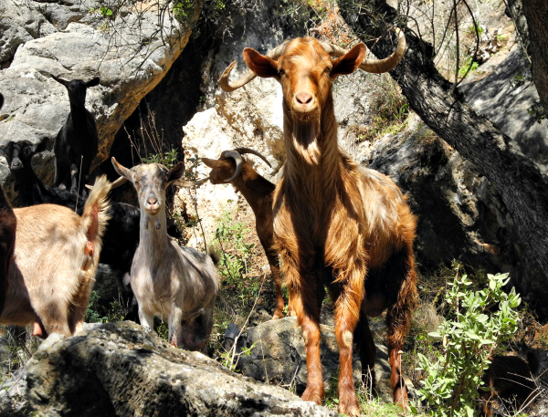 Goats Comares Axarquia Andalusia Spain