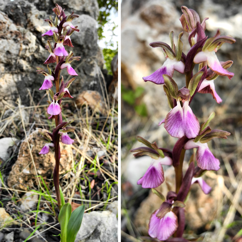 Orchids Comares Axarquia Andalusia Spain